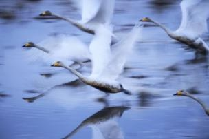 The winning image was selected from a shortlist of three categories: People, Cities and Nature. Hiromi Kano took second place in the Nature category with this image of swans mid-flight.