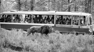 A black and white photograph of a coach full of Longleat visitors watching a lion