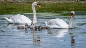 Swan family at Port Meadow, Oxford