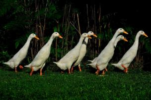 Ducks in a line