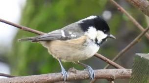 A picture of this coal tit was taken in Robert Pinch's garden in Neath.