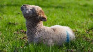 Lamb soaking up the sun