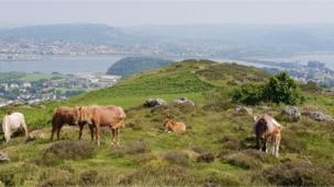 Ponies and foals on Conwy Mountain