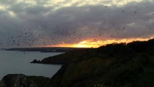 Starlings at sunset over St Ishmaels, Pembrokeshire