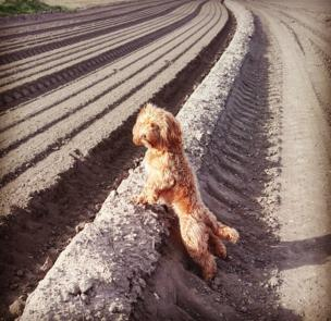 A dog stands up against freshly ploughed land.