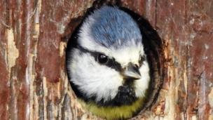 Gazing out: Paul Roberts captured a blue tit at Aberogwen, Gwynedd