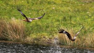 Gliding free: Red kites coming into feed at Bwlch Nant Yr Arian, Aberystwyth, was taken by Ewan Selkirk