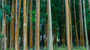 شجرة كريبتوميريا (الأرز الياباني)