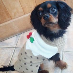 Jack the dog wearing his Christmas jumper