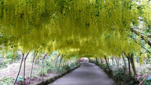 Denise Strong's view of the famous laburnum arch in full flower at Bodnant Gardens, Colwyn Bay.