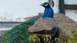 A peacock perched on a wall at Anna's Welsh Zoo
