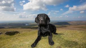 Barnaby the black labrador on the Preseli hills