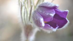 """Виктор Безлюдный, Жодино, Беларусь: """"Прострел (сон-трава) радует каждый год в весеннем лесу своим цветом""""."""