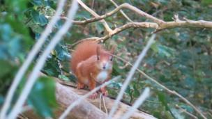 Red squirrel on Caldey Island