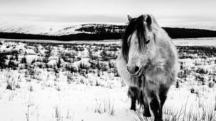 A wild pony in the snow near Penderyn, Rhondda Cynon Taff.