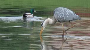 Heron and duck on Castle View Lake, Caerphilly