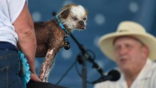 Tee Tee, a Chinese Crested, is shown to judge Brian Sobel