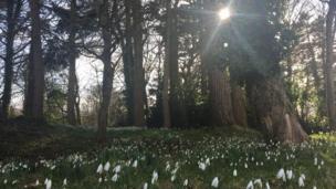 Snowdrops at Merthyr Mawr