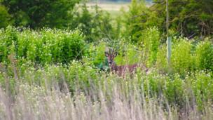 Deer at Buckland Marsh, just off the A420 in Oxfordshire