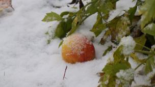 """Виктор Несен, Екатеринбург: """"Осенним вечером поднялся ветерок, ночью выпал первый снежок, а утром под кустом еще зеленого любистка я нашел последнее яблоко""""."""