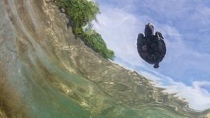 Hawksbill turtle swimming in Indonesia