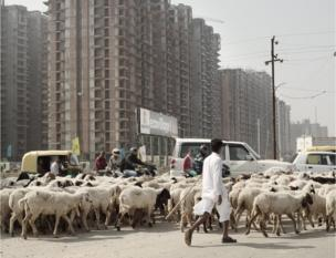 Sheep cross the road in India