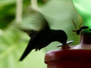 A bird drinks sugary water