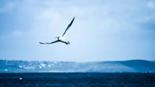 A gannet fishing at Barafundle Bay