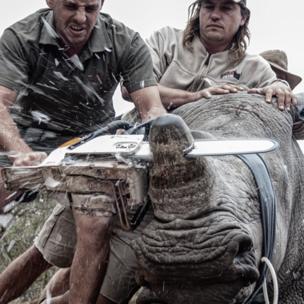 Hombre cortando con una sierra eléctrica el cuerno de un rinoceronte