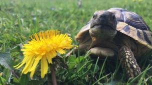 Buddy the tortoise next to a dandelion