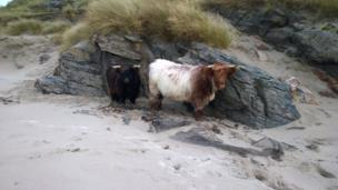 Highland cows on the beach