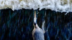 طائر البلشون