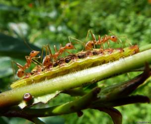 weaver ants on top of a caterpillar