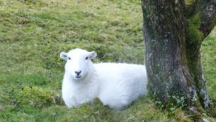 Sheep sheltering from the rain near Lake Vyrnwy, Gwynedd