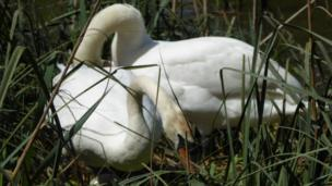 Pauline Massey: Swans in Oxford's University Parks