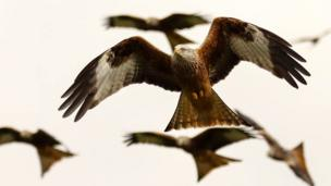 Red kites in the sky