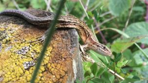 Lizard near the lower Lliw reservoir, Swansea