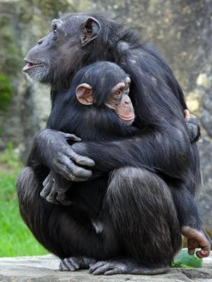 Chimpanzé abraça filhote