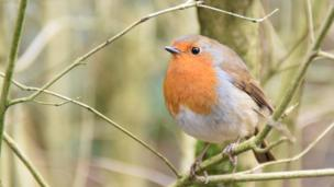 Robin at Roath Park, Cardiff, taken by Kenneth Arthurs