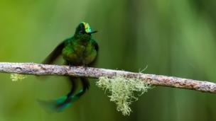 A male long tailed sylph