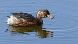 Grebe at Morton lochs in Fife