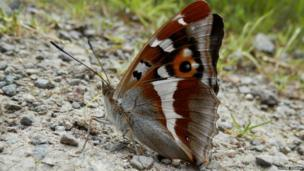 Purple Emperor butterfly displaying the Ventral Side of its wings. Photo: Phoebe Perkins
