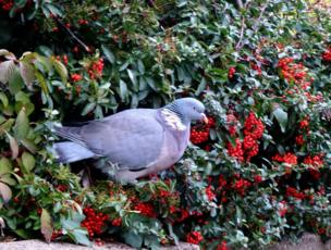 Wood pigeon with red berries
