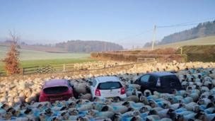 Sheep surrounding three cars, Wales