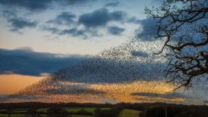 A murmuration of starlings at Bangor-on-Dee captured by Ian Humphreys