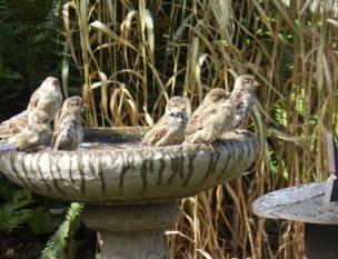 Sparrow bath in bird fountain