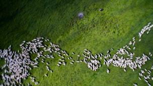 ฝูงแกะสีขาวตัดกับทุ่งหญ้าเขียวขจีในโรมาเนีย