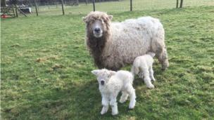 A sheep and two lambs