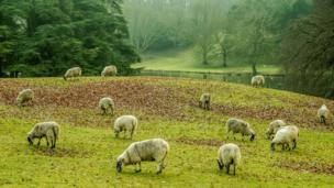 Grazing sheep near the River Glyme, at the back of Blenheim park