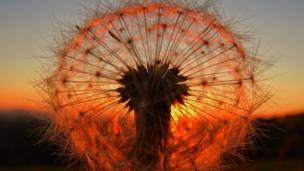A dandelion lit up by the sunset